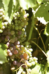 Wine grapes. From Santa Ynez, CA, not the south of France, but close enough! photo credit: Tess